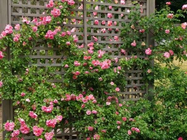 Tạo hoa leo trang trí cho hàng rào